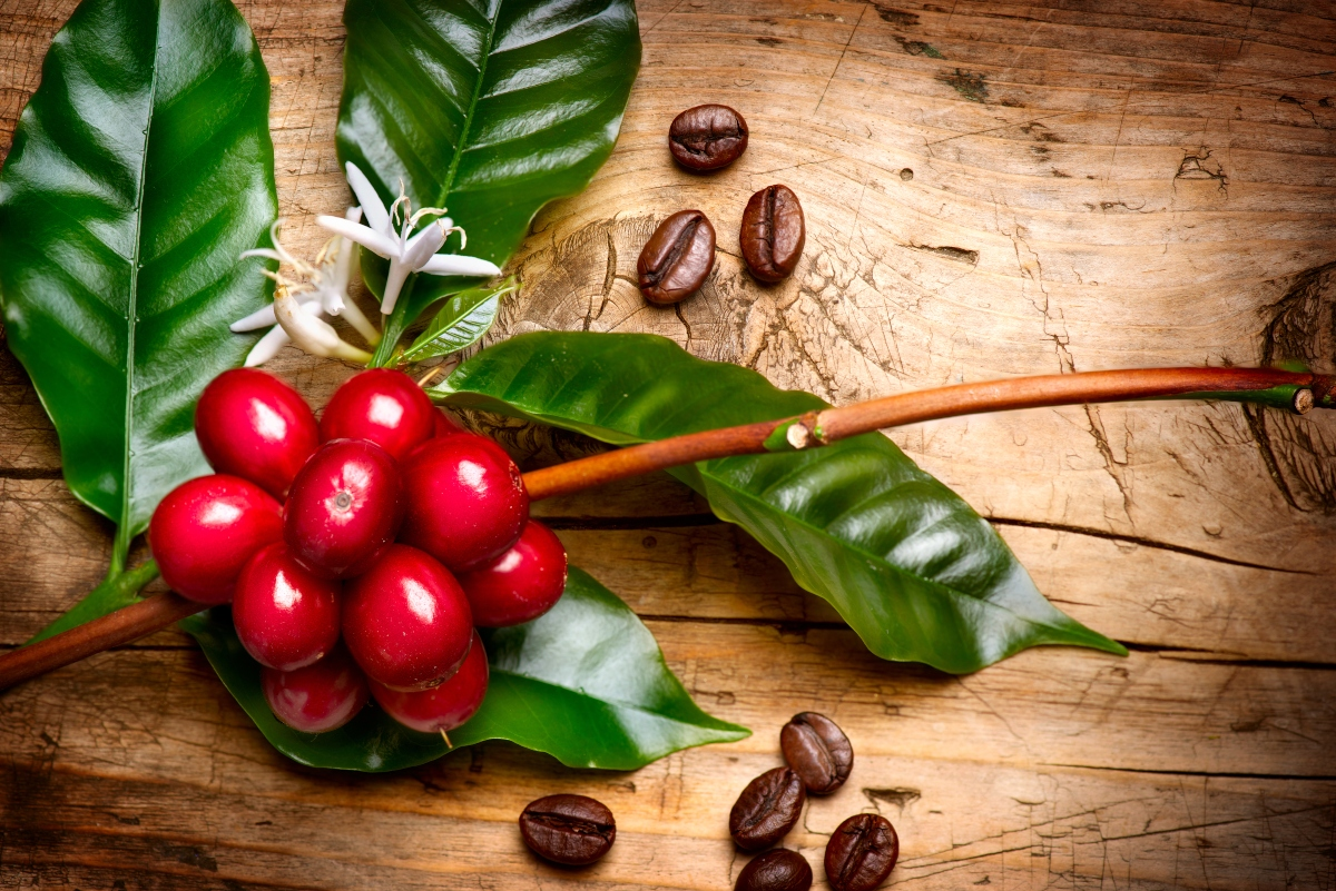 Branch of coffee berries with coffee beans spread around the branch