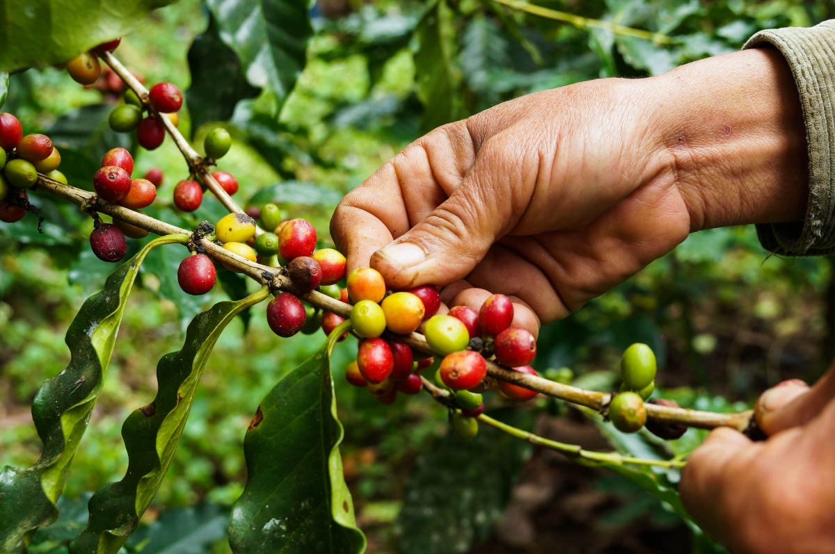 Hand holding a branch with the coffee berries