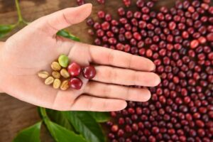 Hand holding coffee beans in the palm of the hand with stacked coffee berries in the backgruound