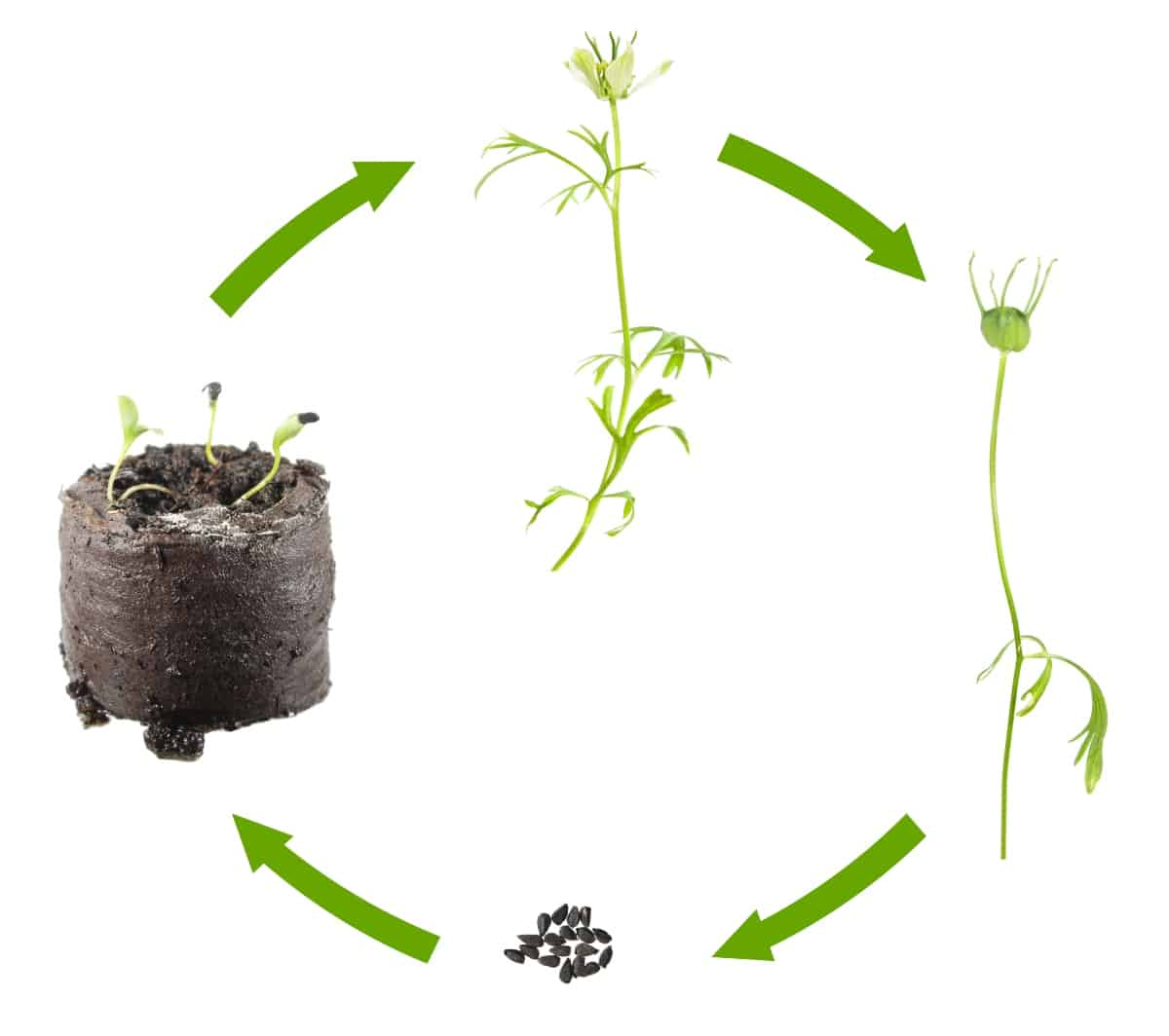 Nigella sativa plant's growth cycle, from seedlings, to plant and black seeds