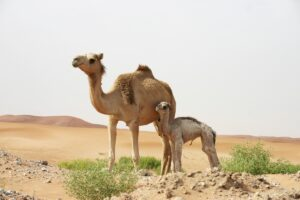 A mother camel stands in the desert with her you camel offspring