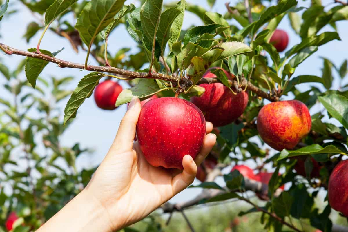 Hand picking up an apple form a tree